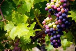 Help Save the Grape Vines!
